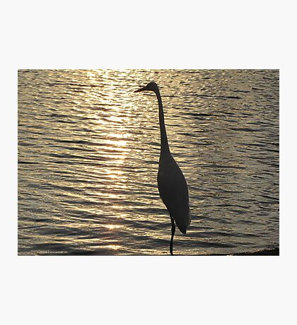 Great White Egret ~ Silhouette  Photographic Print