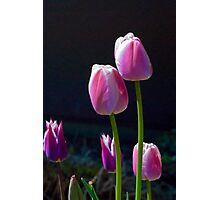 Pink Tulips on Black Photographic Print