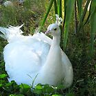 Indian Peafowl ~ Leucistic Male by Kimberly Chadwick