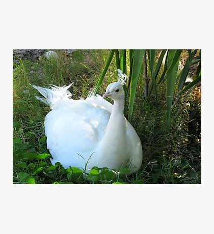 Indian Peafowl ~ Leucistic Male Photographic Print