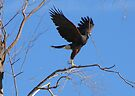 Harris's hawk ~ Success! by Kimberly Chadwick