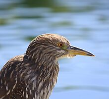 Juvenile Black-crowned Night Heron by Sherry Pundt