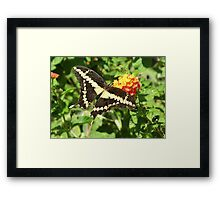 Butterfly ~ Giant Swallowtail Framed Print