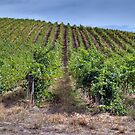 Adelaide Hills Vineyard, South Australia   by Adrian Paul