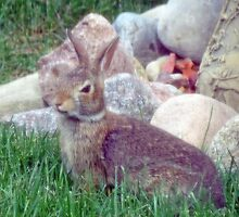 Front Yard Bunny by kkphoto1