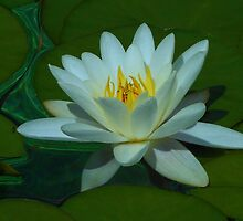 Quiet Beauty - White and Gold Water Lily by BlueMoonRose
