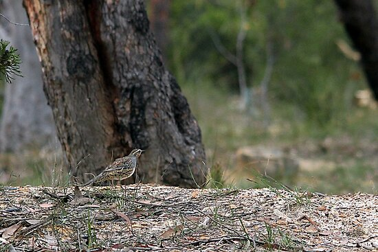 Spotted Quail Thrush by EnviroKey