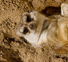 Meercat At Play by Jay Gross