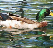 Mallard Duck ~ Drake by Kimberly Chadwick