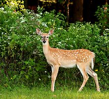 Morning Fawn by Jeff Palm Photography