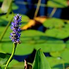 Pickerelweed  by Kathleen Daley