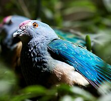 Rose-Crowned Fruit Dove by margotk