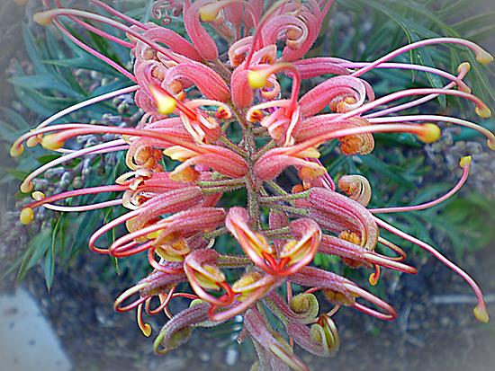 Grevillea - Australian native, Spring 2010 by EdsMum
