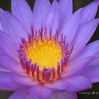 Light Waterlily  by Aurora Vaz