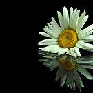 single Daisy by carlosporto