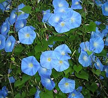 My glorious Morning Glories by Laurie Freeman
