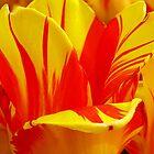 Flamed Tulip Petals by Usha Ganesh
