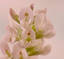 Milkvetch Wild Flower Macro by Sandra Foster