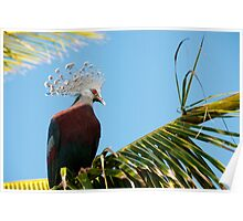 Victoria Crowned Pigeon, Papua New Guinea Poster
