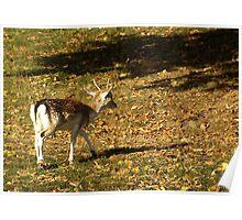 Young Buck - Fallow Deer Poster