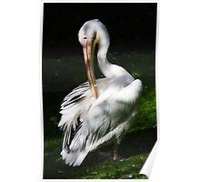 Pelican @ Belfast Zoo Poster