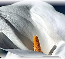 Calla Lily by © Loree McComb