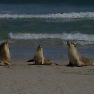 Australian Sea-lions by yeuxdechat