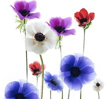 Anemonies by John Holding