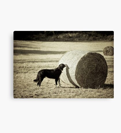 Sniffing the Haystack Canvas Print