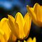 Yellow Tulips March Along by ncamarillo
