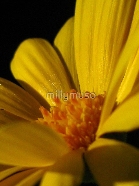 yellow beauty  by millymuso