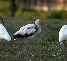 White Ibis Fledgling With Flock by Gail Falcon