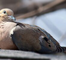 mourning dove by KathleenRinker