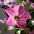Pink petunia  by Chanzz