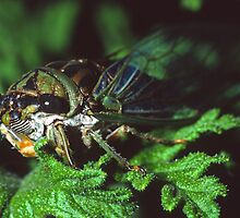 Cicada on Citronella  by Bill Spengler