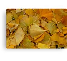 Fallen Ginkgo tree leaves . Canvas Print