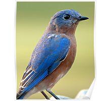 Bluebird at Dusk Poster