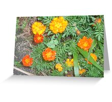 Marigolds  in full bloom Greeting Card