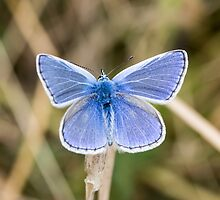 Common Blue Butterfly by Ashley Beolens