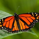 Monarch Butterfly - 11 by Michael Cummings