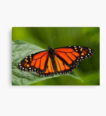Monarch Butterfly - 11 Canvas Print
