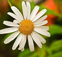 Daisy by Sue Ratcliffe