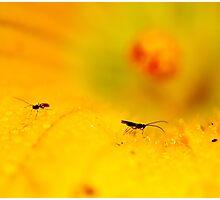 Flys, Zucchini Flower, Ridgeway, Tasmania Photographic Print