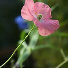 Poppy in Pink by Diana Graves Photography