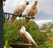Cockies At My Feeder. by shortshooter-Al