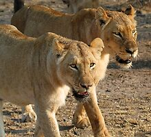 Lionesses on a mission! by jozi1
