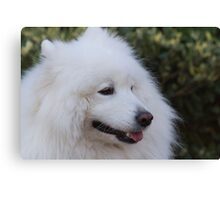 white Samoyed Canvas Print