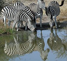Herd of zebra drinking by jozi1