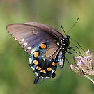 Black Swallowtail by SuddenJim