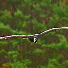 Turkey Vulture by Sue Ratcliffe